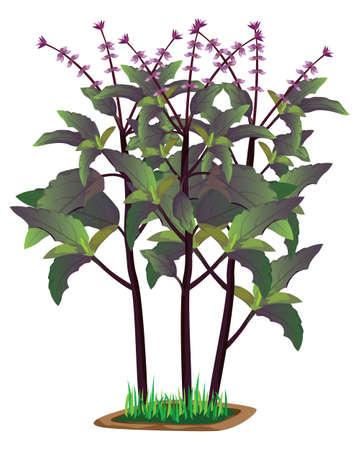 isolated Thai basil plant on white background vector design
