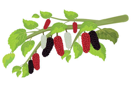 isolated mulberry on white background vector design Ilustracja