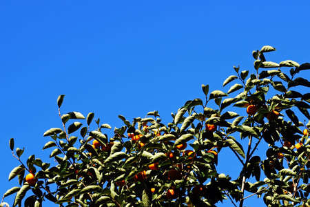 Blue clean sky with autumn persimmon trees, Seoul, Korea Letter written by a picture Stock Photo