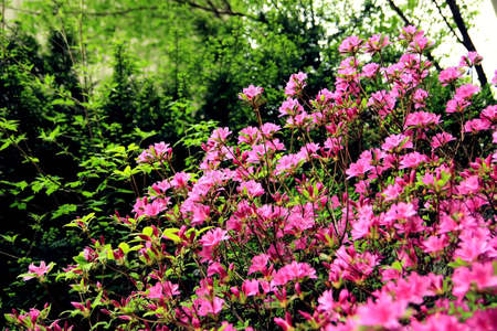 Pink flowers and gren trees in the mountain, royal azalea in the front of eyes