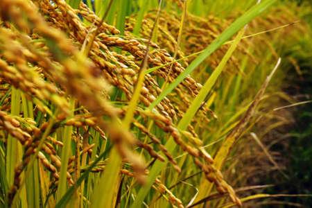 Gold color rice plant, autumnal tints, autumn