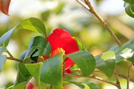 bashfulness: Camellia flower of Jirisan, Jiri mountain, Korea