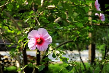 The rose of Sharon, hibiscus in the Hongreung arboretum, Seoul, Republic of Korea