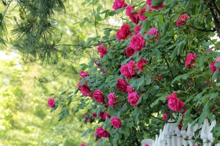 Beautiful pink or red rose flowers of June, Seoul, Korea Stock Photo - 20403895