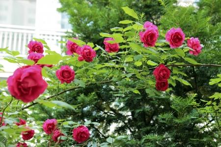 Beautiful pink or red rose flowers of June, Seoul, Korea Stock Photo - 20403899