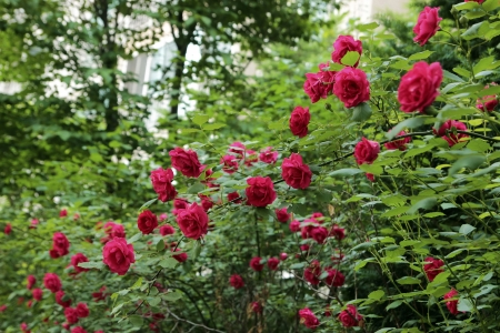 Beautiful pink or red rose flowers of June, Seoul, Korea Stock Photo - 20403898
