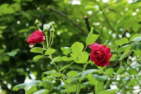 Beautiful pink or red rose flowers of June, Seoul, Korea Stock Photo