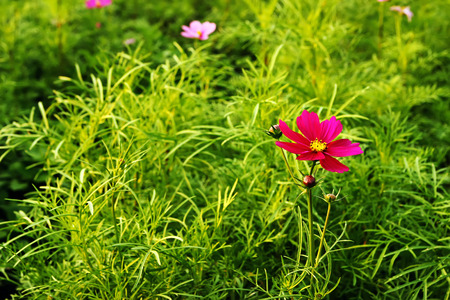colorful wildflowers, cosmos on a background of green leaves in a top view Stock Photo - 26043382