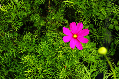 colorful wildflowers, cosmos on a background of green leaves in a top view