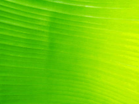 Green Banana Leaf Texture Background. Imagens