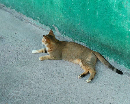 Blackbrown Siamese/Thai cats or Domestic mackerel tabby cat lying on the house.