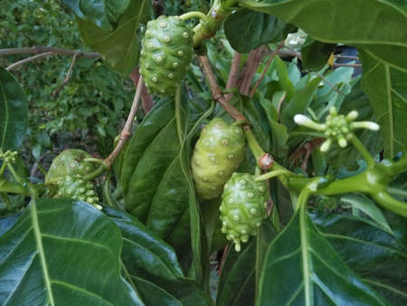 Noni fruit or Morinda Citrifolia on a tree