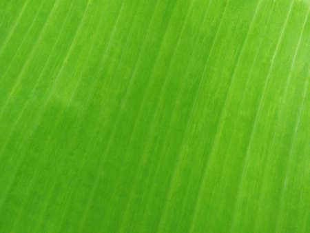Green Banana Leaf Texture Background. , Natural Plant Texture