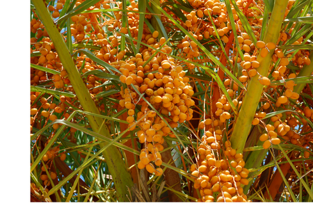 clusters: A Date Palm Tree With Unripe yellow Fruit Clusters Stock Photo