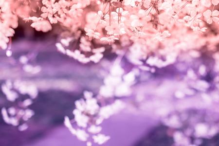 Flowering pink cherry branch spring sunny day 写真素材