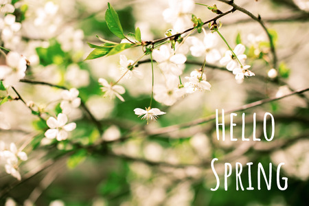 Flowering white cherry branch spring sunny day