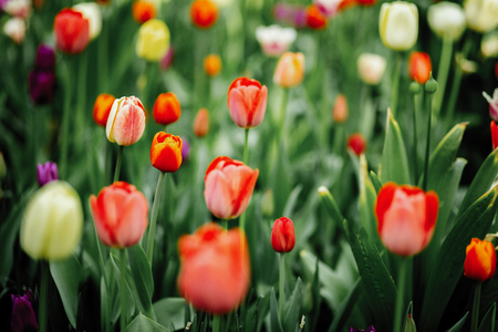 Tulips in the flowerbed red and green color