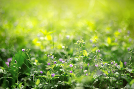 Small flowers in the grass purple flower blurred background