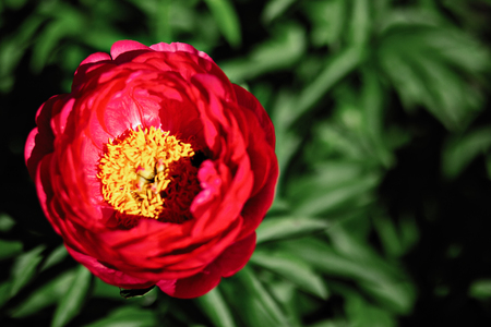 Red peony flower in the garden. Flat lay view Stock Photo
