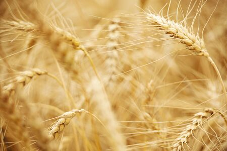 Wheat field. Ears of golden wheat close up. Beautiful Nature Sunset Landscape. Rich harvest Concept 免版税图像