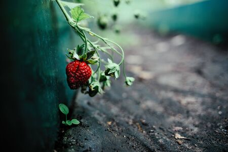 Ripe strawberry on the garden bed on the black agrotextile
