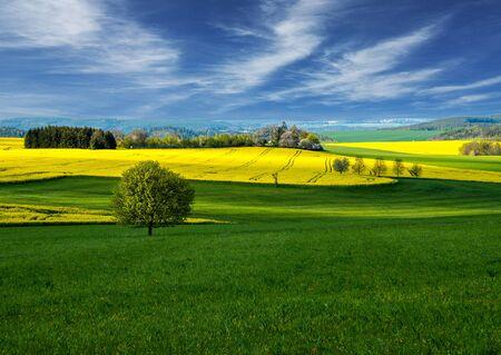 rapeseed field landscape. Rapeseed field. Landscape