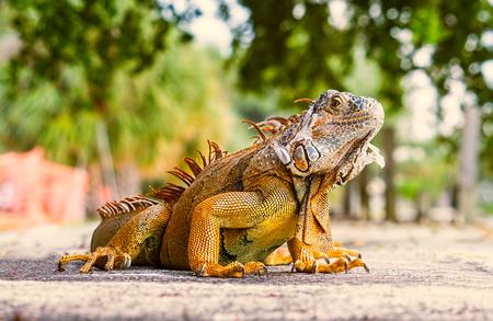 Iguana. Portrait of a lizard.