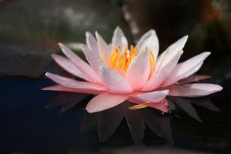 nymphaeaceae: Waterlily , Lotus , Thailand