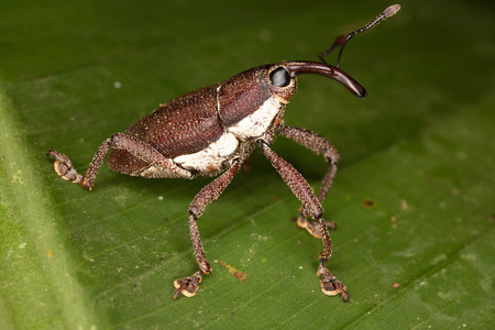 weevil: Beetle weevil Stock Photo