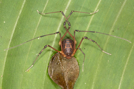 pholcidae: Tropical daddy-long-legs on a leaf of the plant Stock Photo