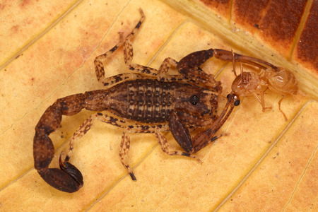 hymenoptera: Scorpio has caught Hymenoptera