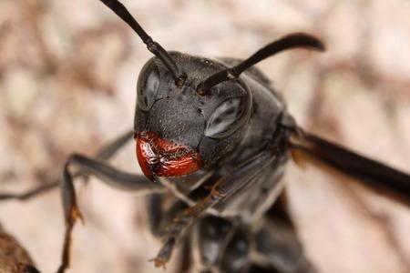 apocrita: Close portrait of a wasp Stock Photo
