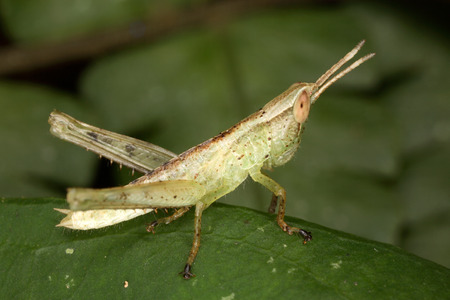 langosta: Larva de la langosta Foto de archivo