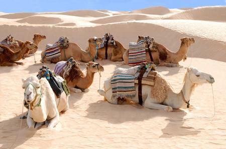 desierto del sahara: Camellos descansando