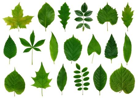 linden: 흰색 배경에 고립 된 녹색 잎