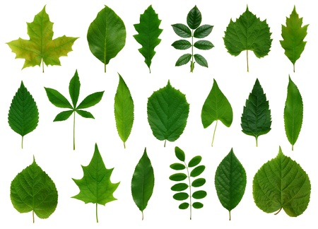 Les feuilles vertes isol� sur fond blanc