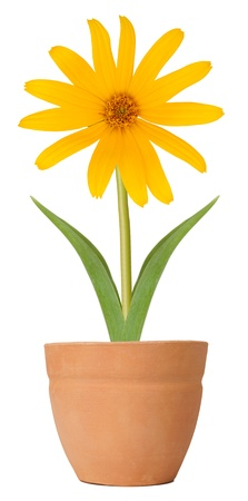 Susan Blume wächst in einem Blumentopf