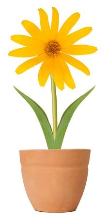 Susan flower growing in a flower pot