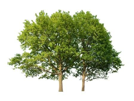 Two oak trees isolated on white background  photo