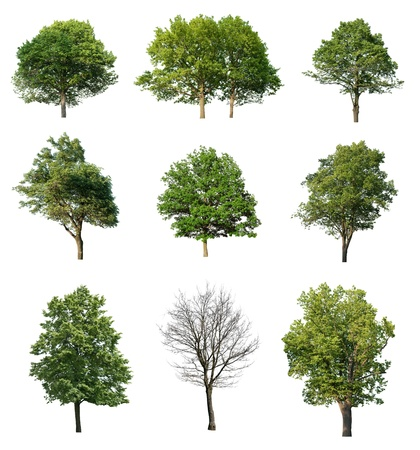 big leafs: Trees isolated on white