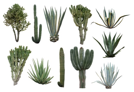 aloe vera plant: Cactus collection isolated on white