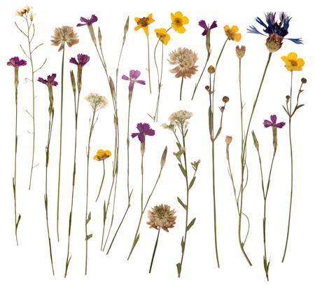 Presionado flores salvajes aisladas sobre fondo blanco
