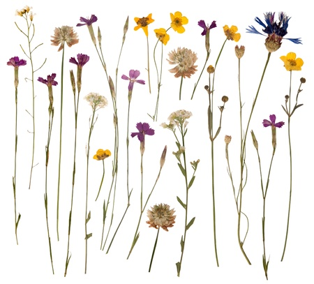 wild: Pressed wild flowers isolated on white background