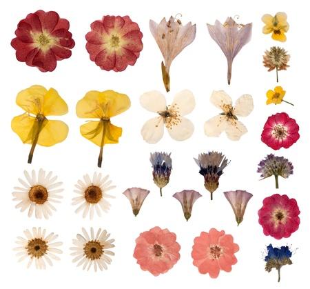 Fleurs press�es isol� sur fond blanc