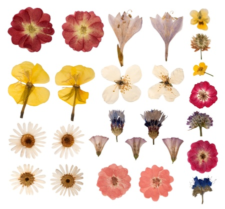 Pressed flowers isolated on white background