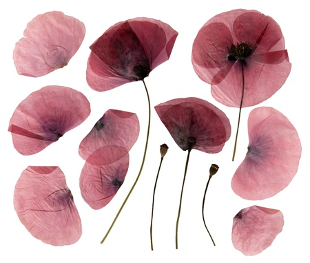 Dry, pressed poppy flowers isolated on white Stock Photo
