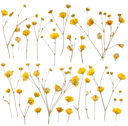 small details: Pressed yellow wildflowers isolated on white background  Stock Photo