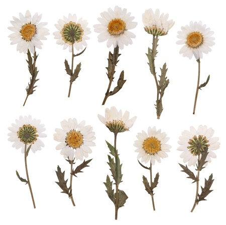 Pressed daisy flowers isolated on white background  Imagens