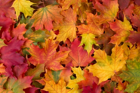 colorful maple trees: Fall leaves background