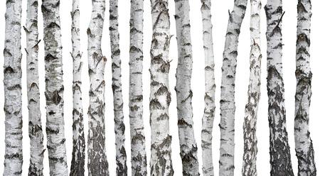 흰색 배경에 고립 된 자작 나무 줄기